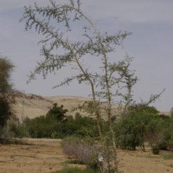 Apple-Ring Acacia, Ana Tree, harraz