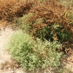 نبات الهرم، حماض، بطباط، رطريط
