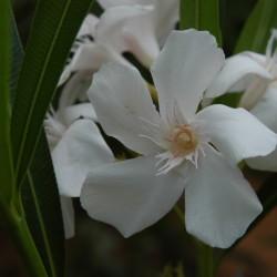 Oleander, diflah
