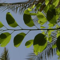 شجرة الفراشة، خف الجمل
