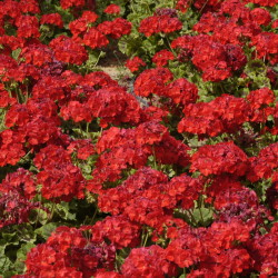 Garden Geranium, Zonal Geranium