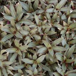 نبات المحار